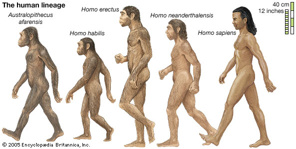 evolution-humans